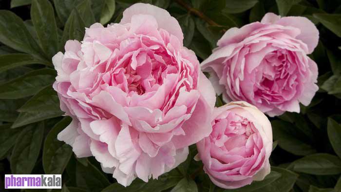 رفع کم خونی با گل پیونی